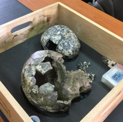 Homo sapiens idaltu, ou l'Homme de Herto, est le nom donné à un groupe de trois crânes fossiles (deux adultes et un enfant), découverts en 1997 en Éthiopie, datés de 154 000 à 160 000 ans (Musée national d'Éthiopie)