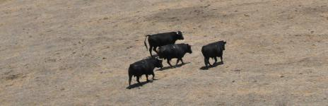 Toros bravos ibériques dans les Badlands (Turlock, Californie, États-Unis)